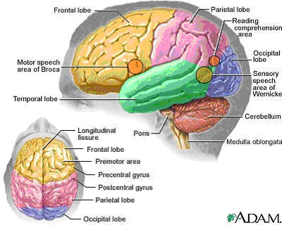 http://www.ahaf.org/alzheimers/about/understanding/anatomy-of-the ...